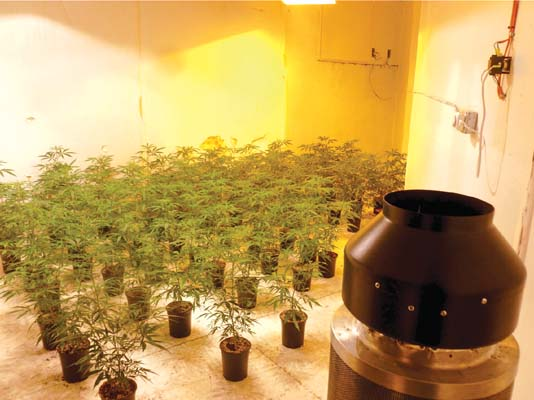 GROWING PAINS: Illegal marijuana operations setting up in large