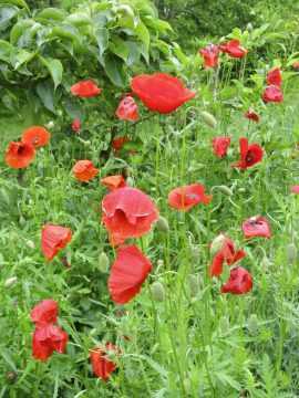 Poppies are tougher than they look and can be sown early | Sentinel